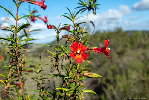 sandiego ranchopeñasquitos nature outside blackmountainopenspacepark mimulusaurantiacusvarpuniceus flowers red small landscape