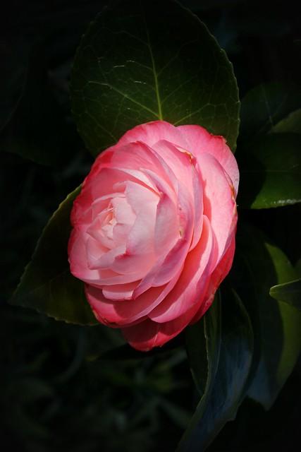 Canon EOS 60D -Double  Camellia Flower
