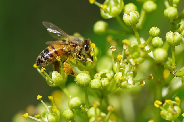 supreme bee