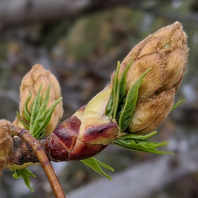 Sweetgum / springtime