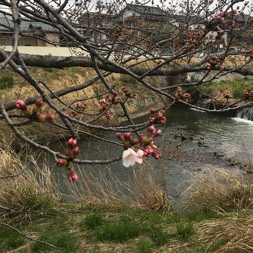 矢那川の桜 2020