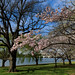 Cherry blossoms at Ohio Drive