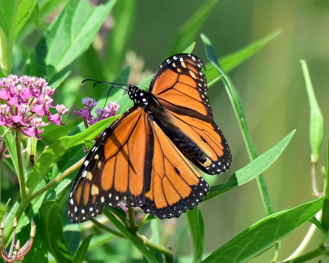 810_5572.jpg Monarch Butterfly