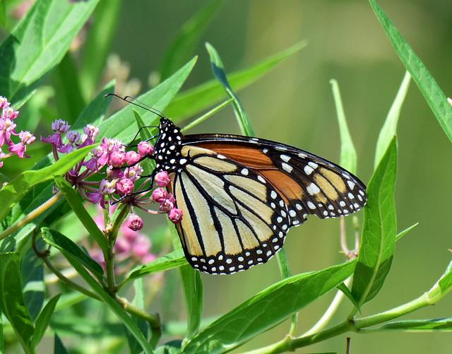 810_5562.  Monarch Butterfly