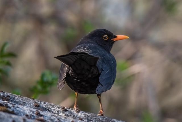 Amselmännchen / Blackbird male