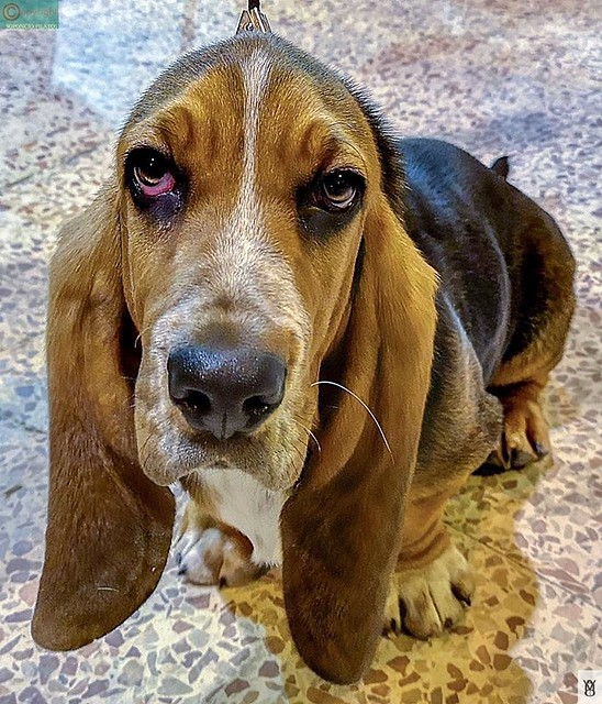 Perro lindo- Raza Basset hound