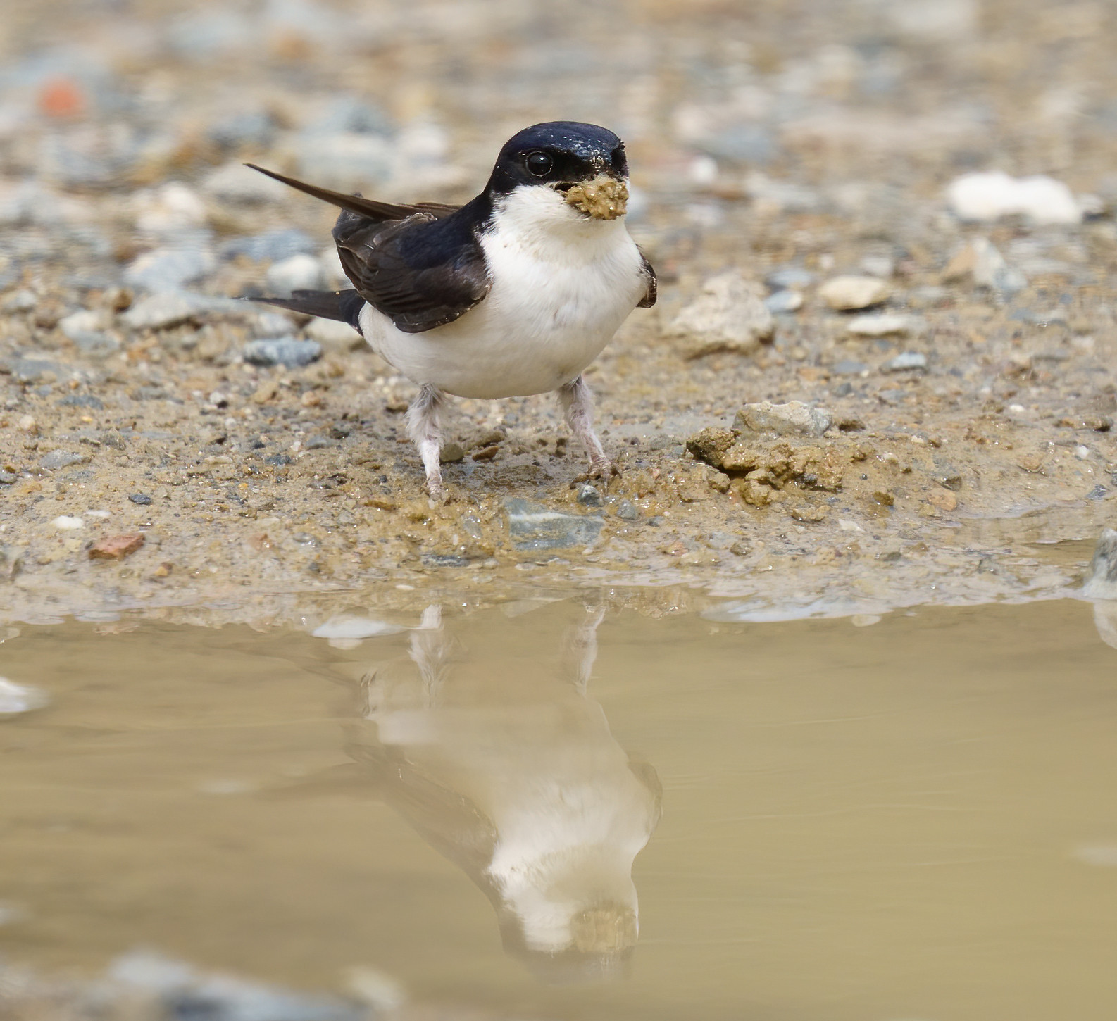 House Martins gathering mud to nest-build - Mertola