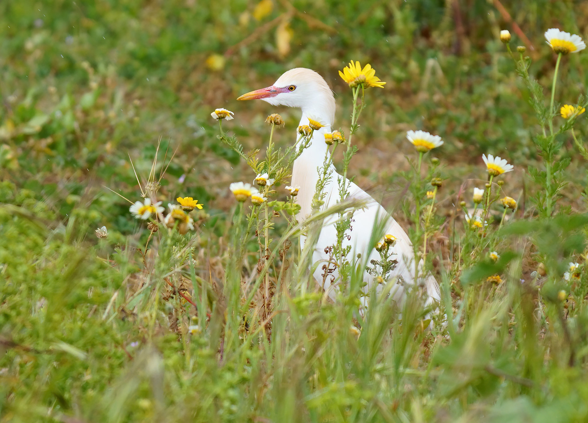 Cattle Egret - Alvor
