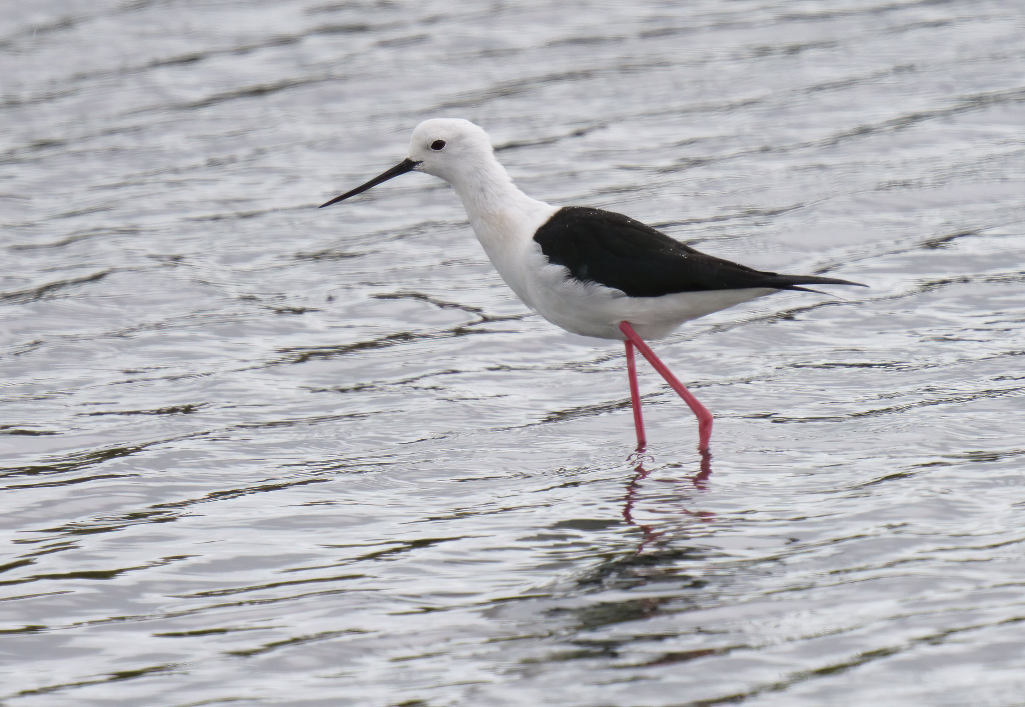 Black-winged Stilt - Alvor