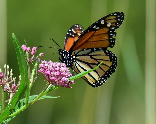 810_5558.jpg Monarch Butterfly
