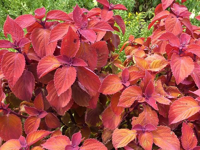 Wheaton, IL, Cantigny Park, Colorful Coleus Plants
