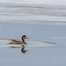 Smient vrouwtje langs het ijs