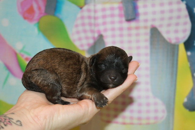 1 Bailey Female CKC Maltipoo 7.3oz days old (5)
