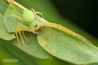 Crab spider (Epidius sp.) - DSC_4935