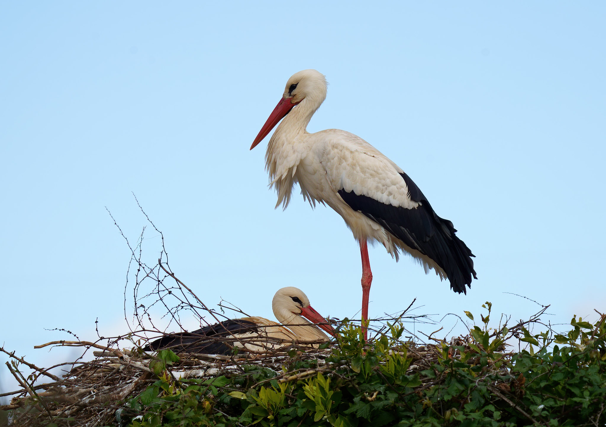 White Stork/s near Monchique