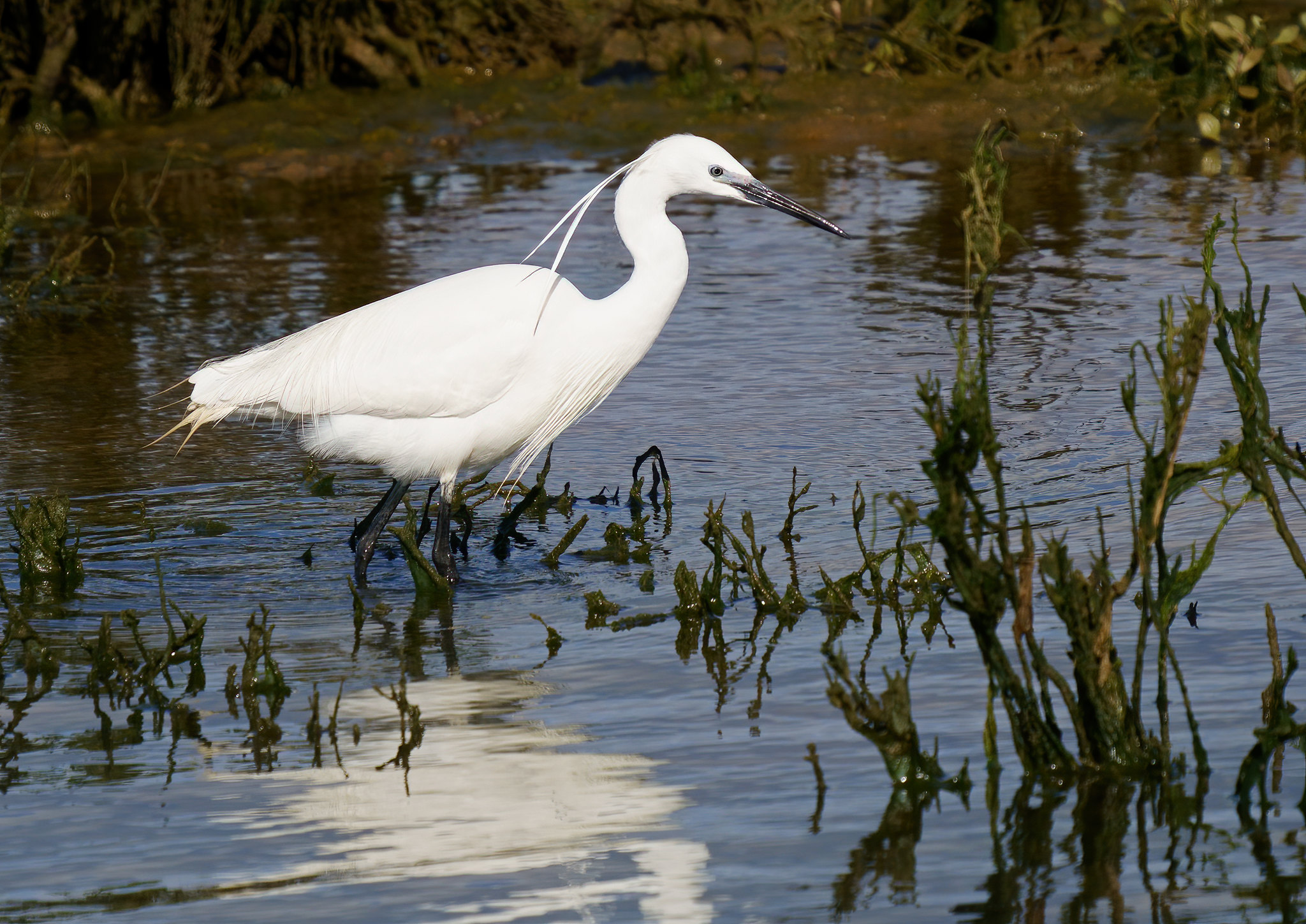 Little Egret - Alvor Estuary
