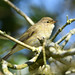 Chiffchaff