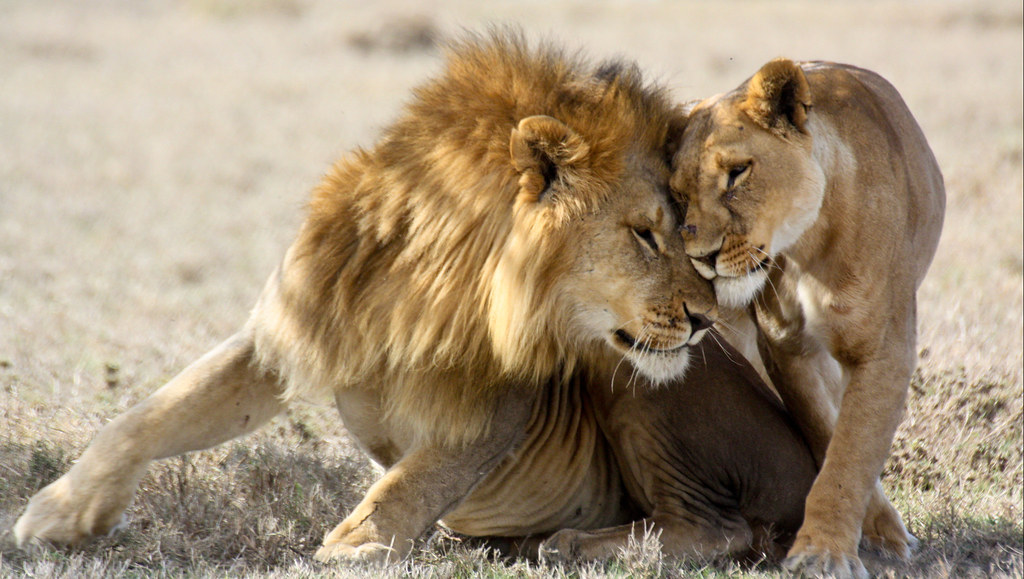 Lion and lioness nuzzling each other
