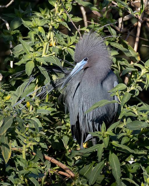 Little Blue Heron in Breeding Plumage