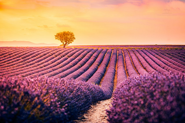 Lavender fields on the Plateau of Valensole
