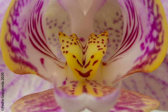 Phalaneopsis