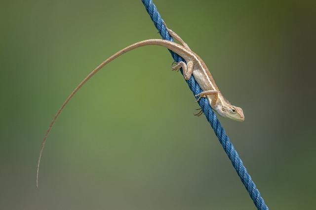 Oriental Garden Lizard [Explore]