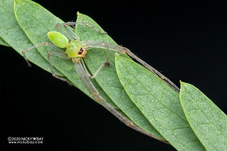 Crab spider (Epidius sp.) - DSC_4996