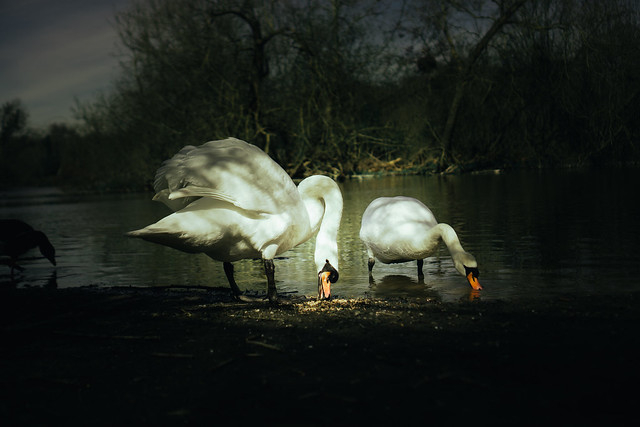 swans eating bird seed next to lake
