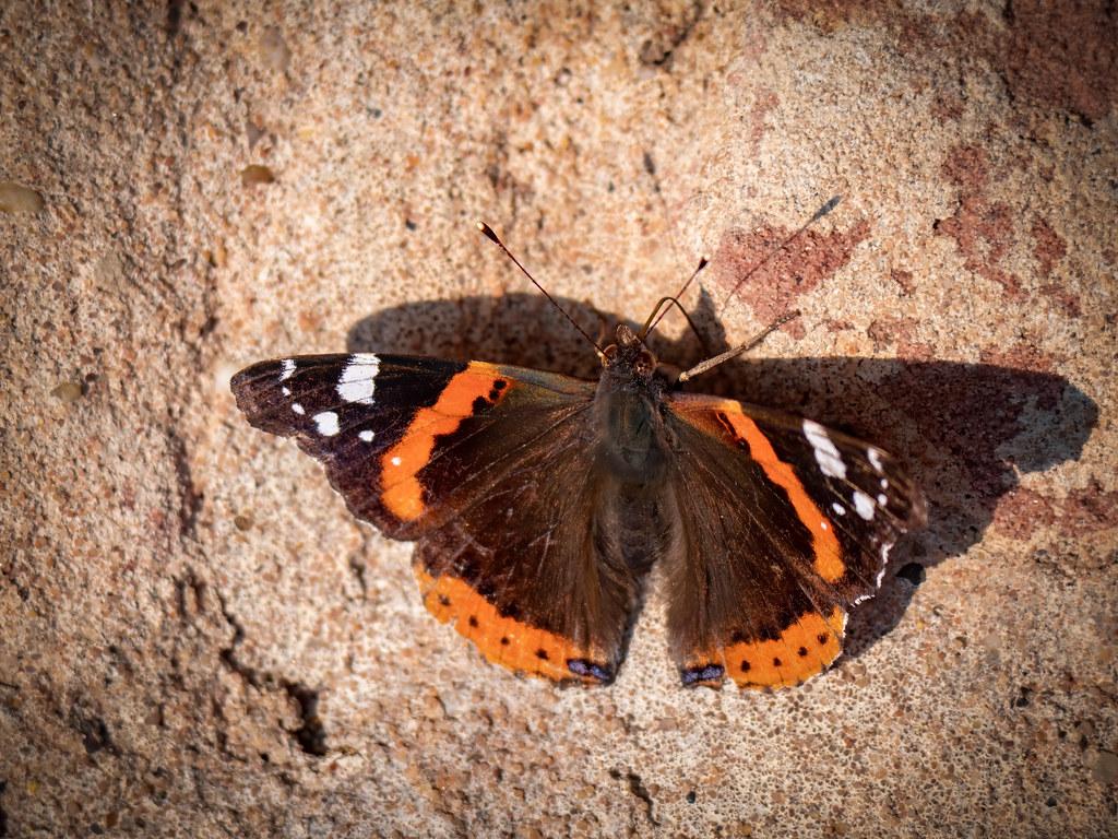 Dans l'ombre du papillon... 49691069546_da27d8028a_b