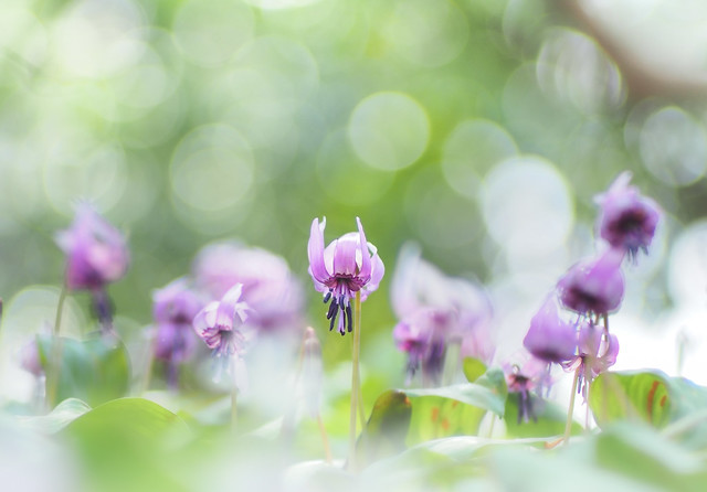dogtooth violet in a sun