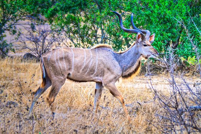Kudu Antelope in South Africa