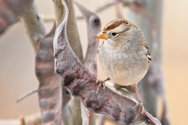 Chipping-Sparrow-3-7D2-111719
