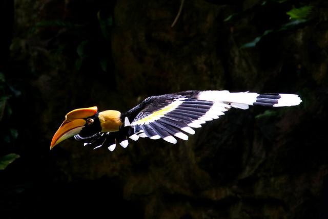Great hornbill (male) in flight