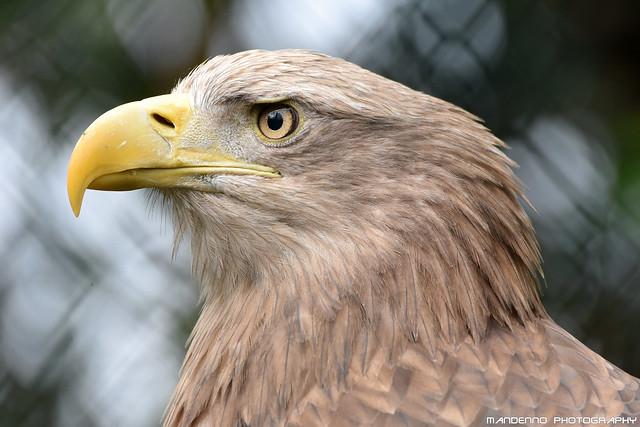 Sea eagle - Zoo Amneville