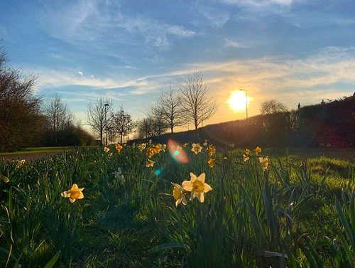 flowers sunset england sun grass evening spring country daffodil flare sunbeam daffodils banbury hanwellfields iphonexs isolation covid19