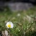 Daisy 3/4