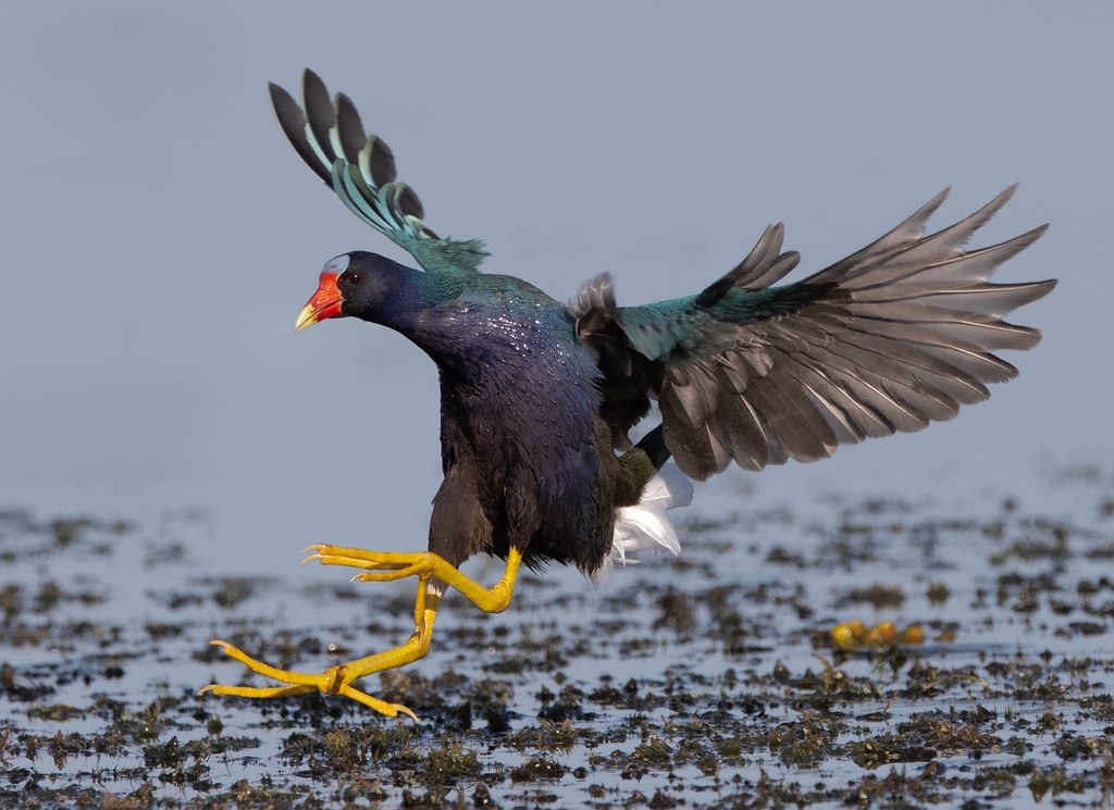 Purple Gallinule from our FL photo tour!