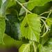 Betula nigra - Photo (c) David Seibold, algunos derechos reservados (CC BY-NC)