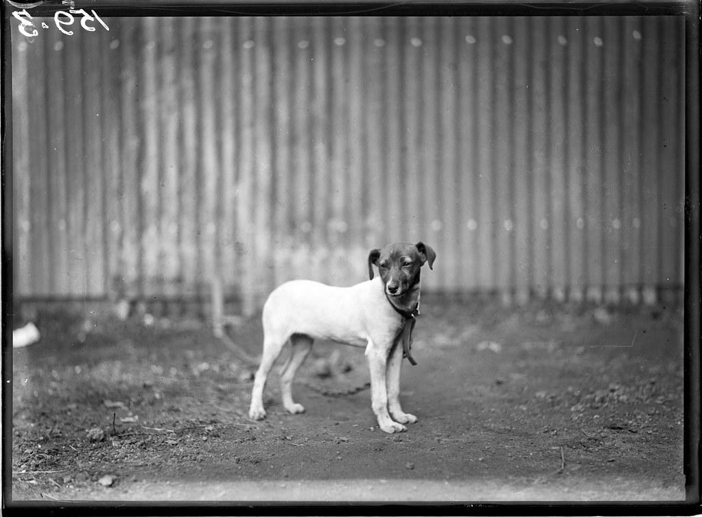 Rat Catcher Dog, Circa 1930s