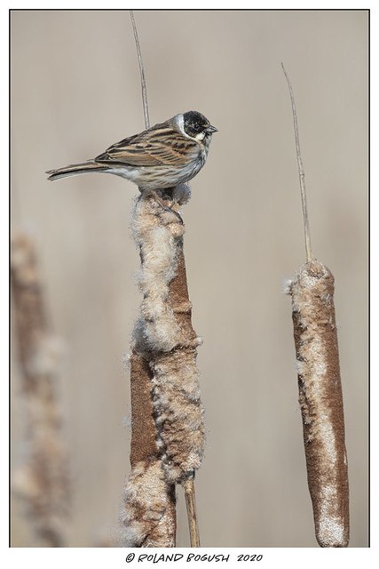 Reed Bunting (m) on a reed - where else would you find one?!
