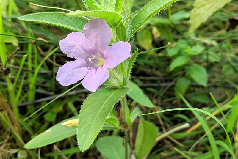 Closeup of a single medium-purple, five-petaled flower.