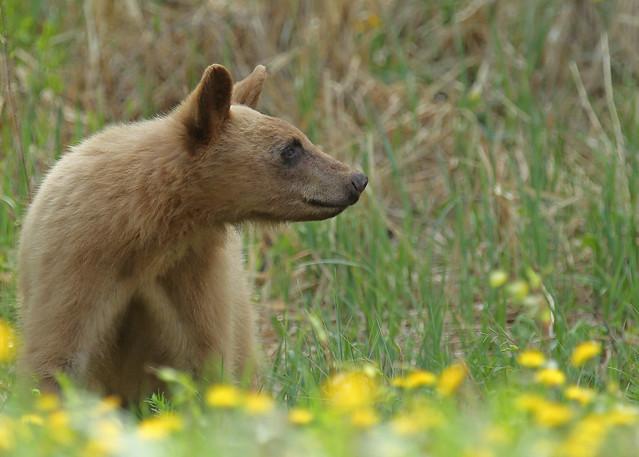 Blonde coloure Black Bear...#4