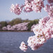 Tidal Basin Blossoms