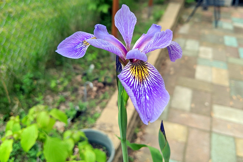 Dark-purple iris with yellow streaks, with a patio in the background.