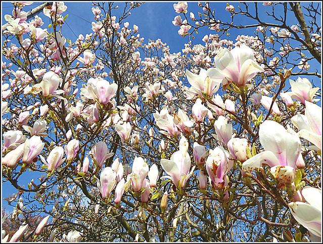 Magnolia Tree ...