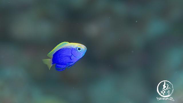 セナキルリスズメダイ幼魚