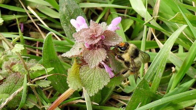 Pelzbiene - Hairy-Footed Flower Bee