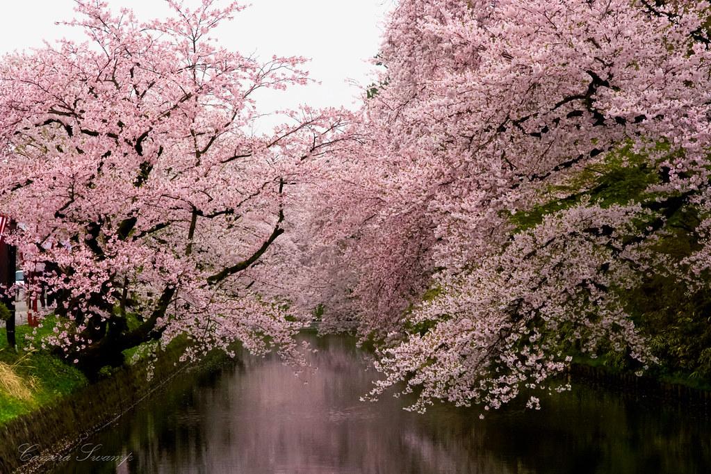 青森県弘前市弘前城の桜