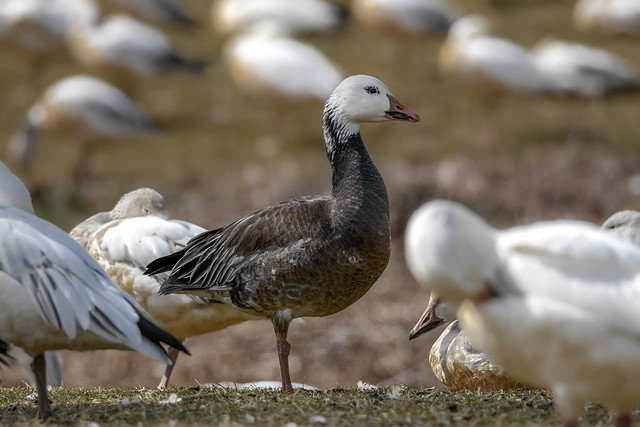 Snow Goose (blue morph) explored 3/25/20