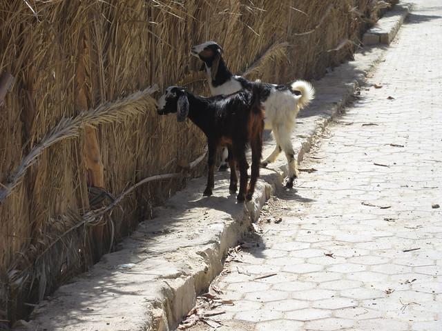 goats-6